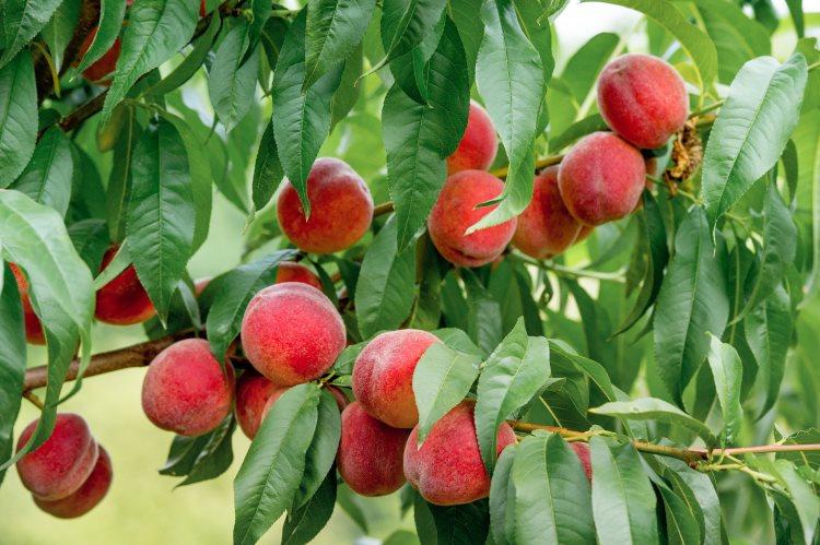 arbre-fruitier-peches