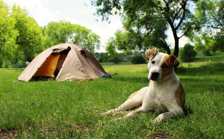 camping-chien