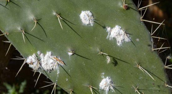 cochenille-plznte-grasse